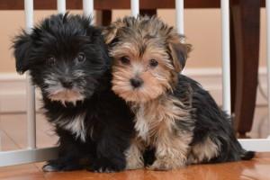 Snorkie Puppies